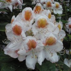 Rhododendron Mrs T.H. Lowinsky  AGM