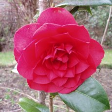 Camellia x williamsii 'Les Jury'  AGM