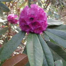 Rhododendron niveum  AGM