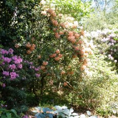 Rhododendron Olga  AGM