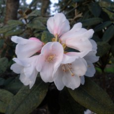 Rhododendron pachysanthum 'Crosswater'  AGM