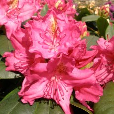 Rhododendron Pearce's American Beauty