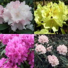 Compact Rhodo Collection (4 x 3 litre plants!)