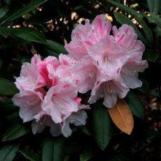 Rhododendron Peppermint Candy