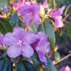 Rhododendron Praecox  AGM