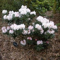 Rhododendron pseudochrysanthum  AGM