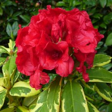 Rhododendron Red and Gold