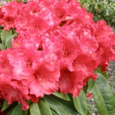 Rhododendron Red Delicious