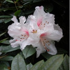 Rhododendron Red Heart