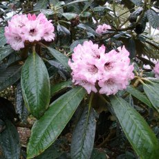Rhododendron rex  AGM
