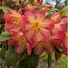Rhododendron Ring of Fire