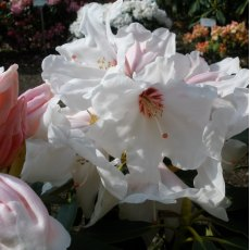 Rhododendron Silver Jubilee  AGM