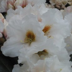 Rhododendron Snow Fire