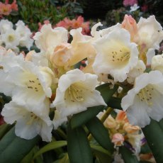 Rhododendron Spring Sunshine