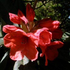 Rhododendron Tally Ho