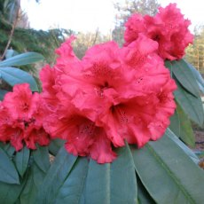 Rhododendron Taurus  AGM