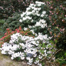 Rhododendron Tibet