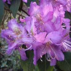 Rhododendron trichanthum 'Honey Wood'
