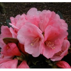 Rhododendron Vintage Rose  AGM