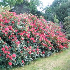 Rhododendron Vulcan  AGM