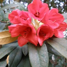 Rhododendron W.F.H.  AGM