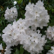 Rhododendron White Swan