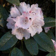 Rhododendron wiltonii  AGM