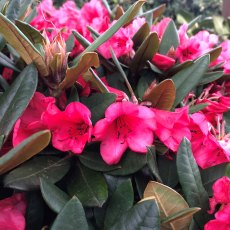 Rhododendron Winsome  AGM