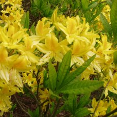 Deciduous Azalea luteum  AGM  BOX DEAL