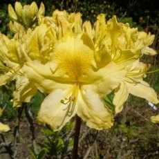 Deciduous Azalea April Showers