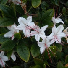 Deciduous Azalea arborescens 'Latest White'  AGM