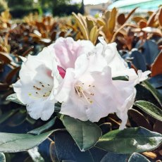 Rhododendron Queen Bee