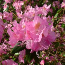 Rhododendron Airy Fairy