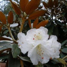 Rhododendron pachysanthum Exbury form AGM