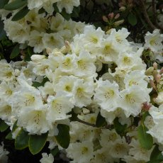 Rhododendron Olivia