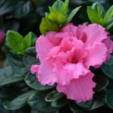 Evergreen Azalea Bloom Champion Pink