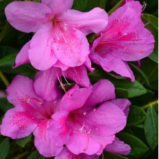 Evergreen Azalea Bloom Champion Purple