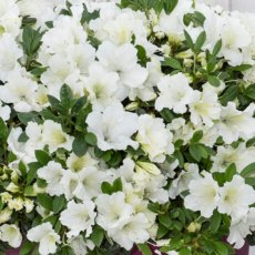 Evergreen Azalea Bloom Champion White