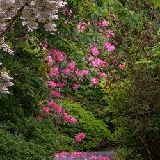 Rhododendron Diva Group