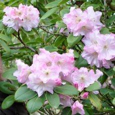 Rhododendron Dougie Betteridge