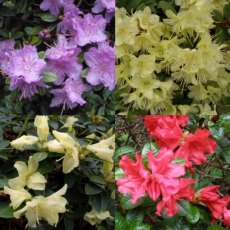 Dwarf Rhodo Collection ( 4 x 3 litre plants)