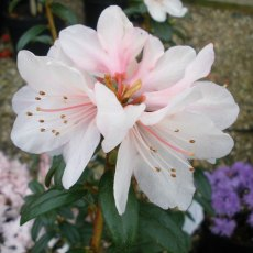 Dwarf Rhododendron Strawberry Cream