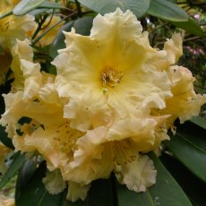 Rhododendron Golden Fleece