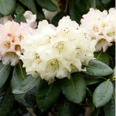 Rhododendron Jeanne Church