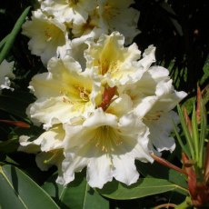 Rhododendron Ted's Cream Cracker