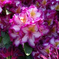 Rhododendron Happydendron Pushy Purple