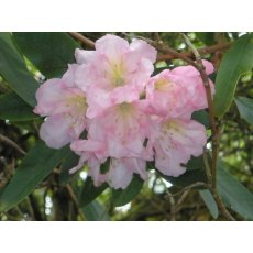 Rhododendron Kewense (Bowood)