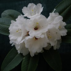Rhododendron Marie-Louise Agius