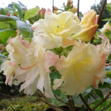 Deciduous Azalea Cannon's Double  AGM