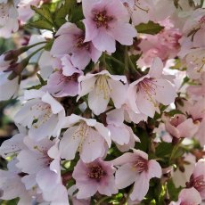 Prunus incisa Kojo no Mai  AGM